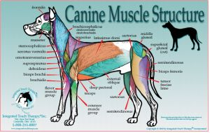caninemuscleL dog back muscle anatomy